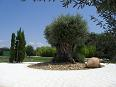 Olivenbaum - Alter 1800 Jahre!